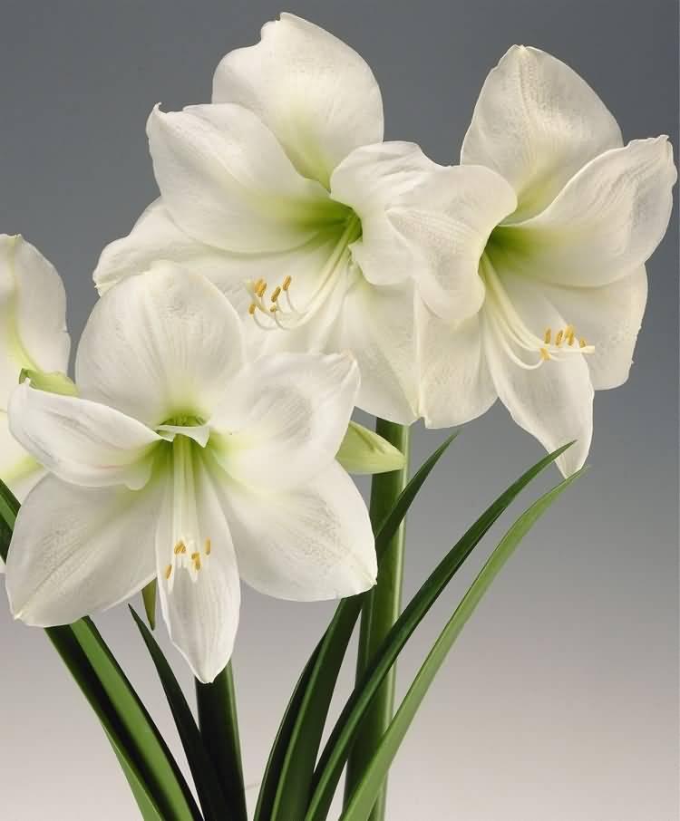 Most Beautiful White Amaryllis Flowers Plant