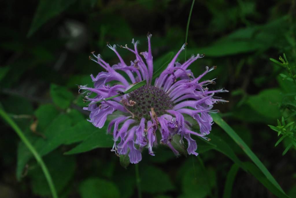 Most Beautiful Wild Bergamot Flower With Green Combination