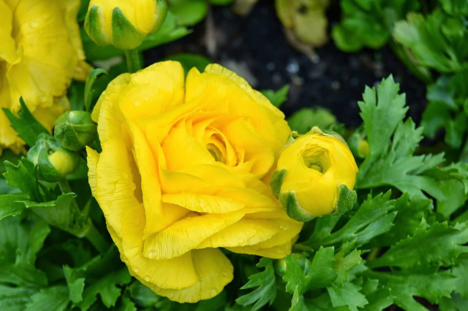 Most Beautiful Yellow Buttercup Flower In Plant With Green Leafs