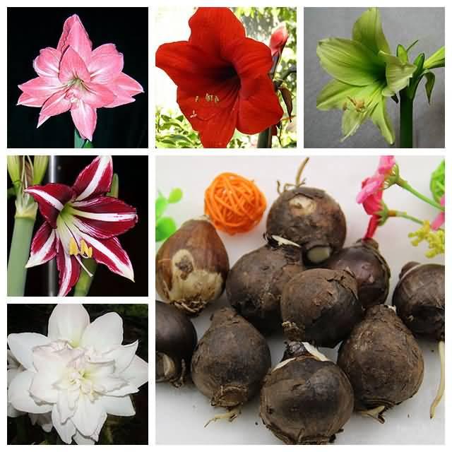 Most Charming Amaryllis Flowers Many Types