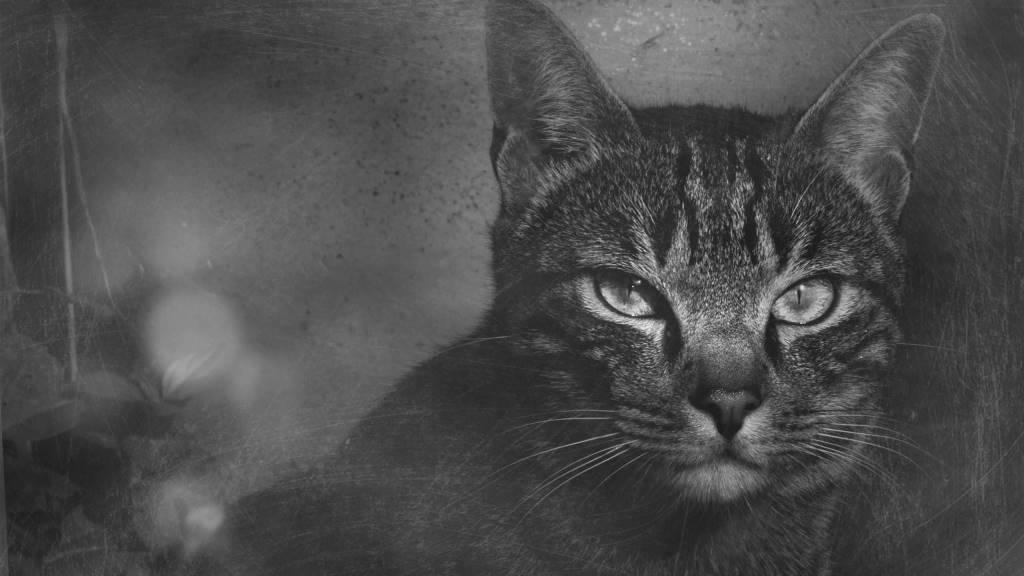 Most Dashing Black And White Cat 4K Wallpaper
