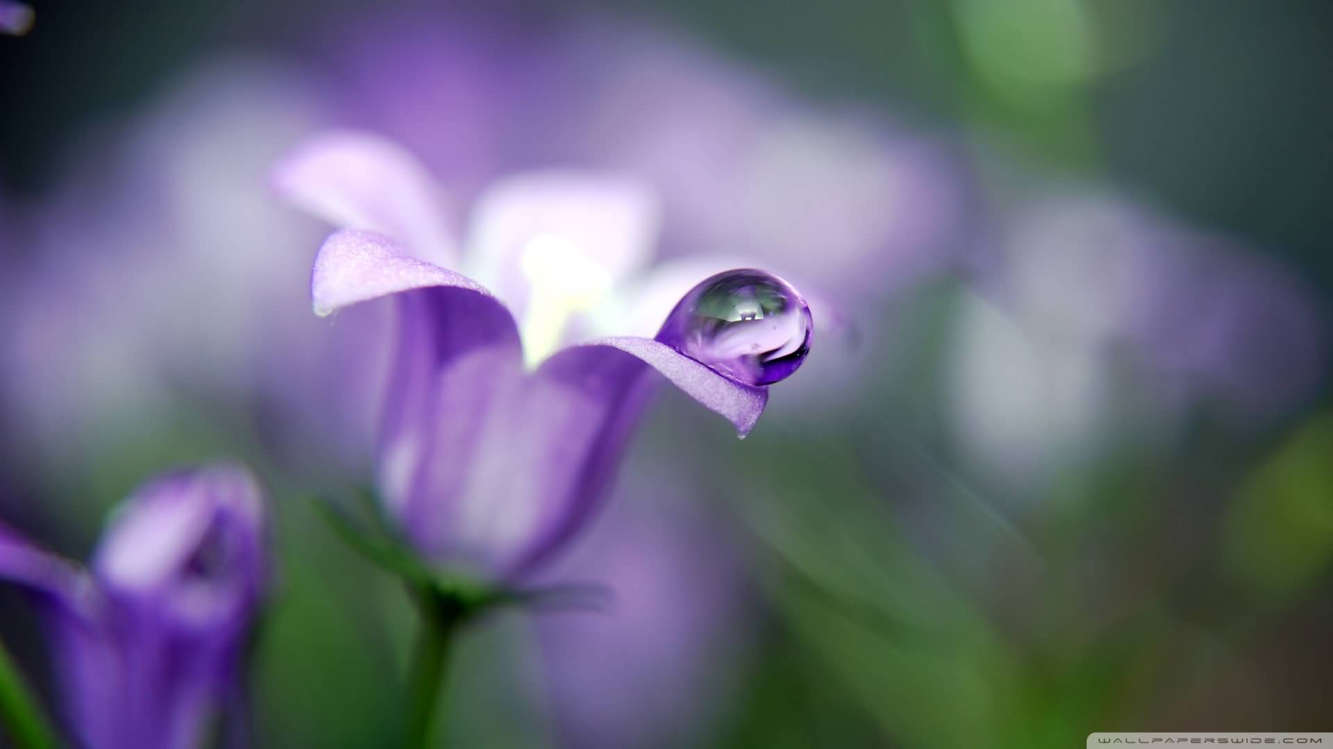 Out Standing Bluebell Flower Photo With Water Drop Wallpaper