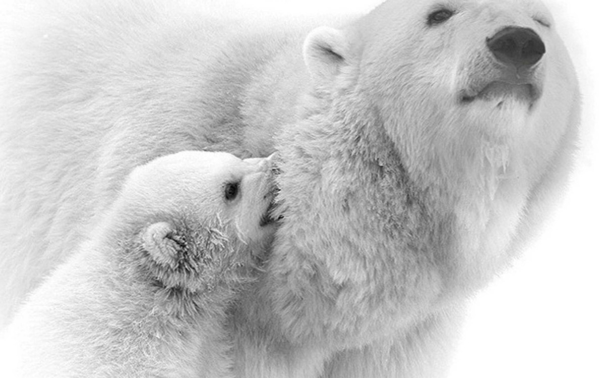 Polar Bear With Her Daughter 4k Wallpaper