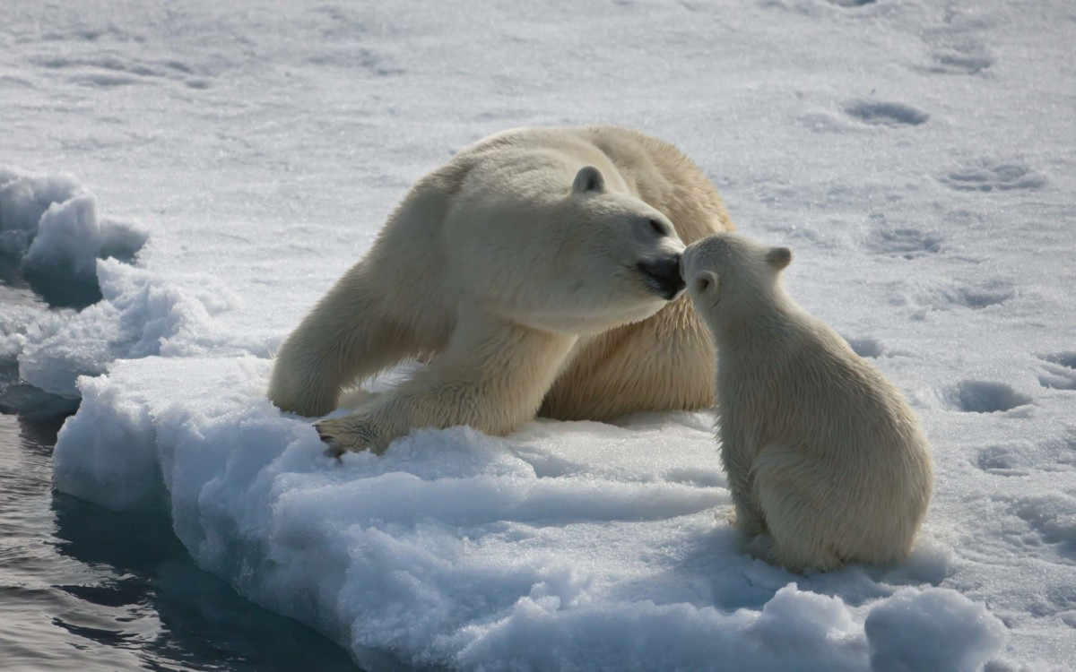 Polar Bear With His Daughter Full Hd Wallpaper