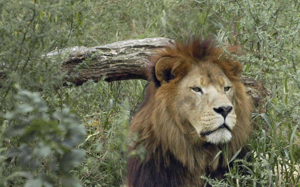 Sad Lion In The Wild Full Hd Wallpaper