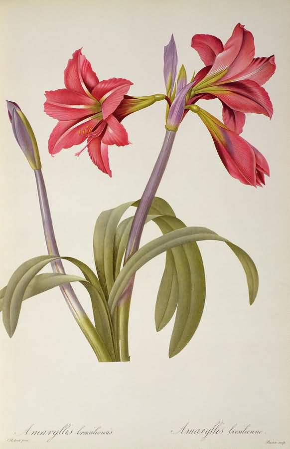 Simple Red Amaryllis Flower Sketch Wallpaper