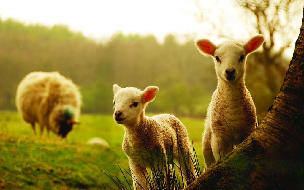 Small Lambs With Their Mother Full Hd Wallpaper