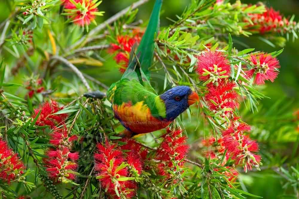 Stunning Bird And Bottle Brush Flower On Tree With Green Combination