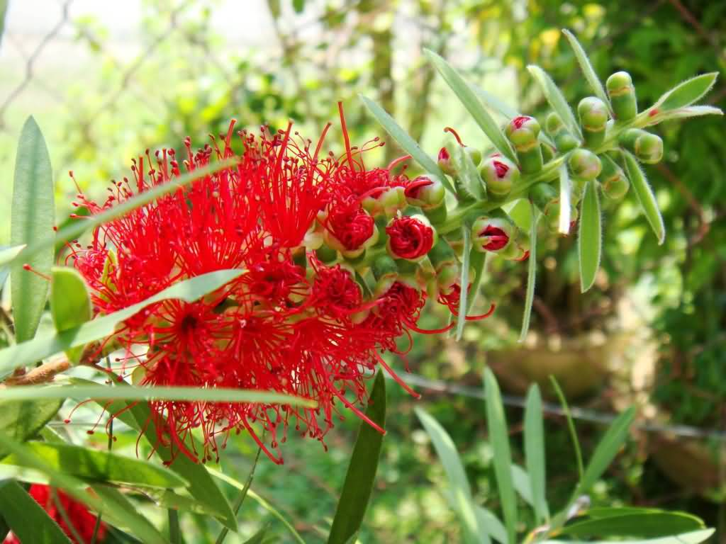 Stunning Red Bottle Brush Flower With Green Background
