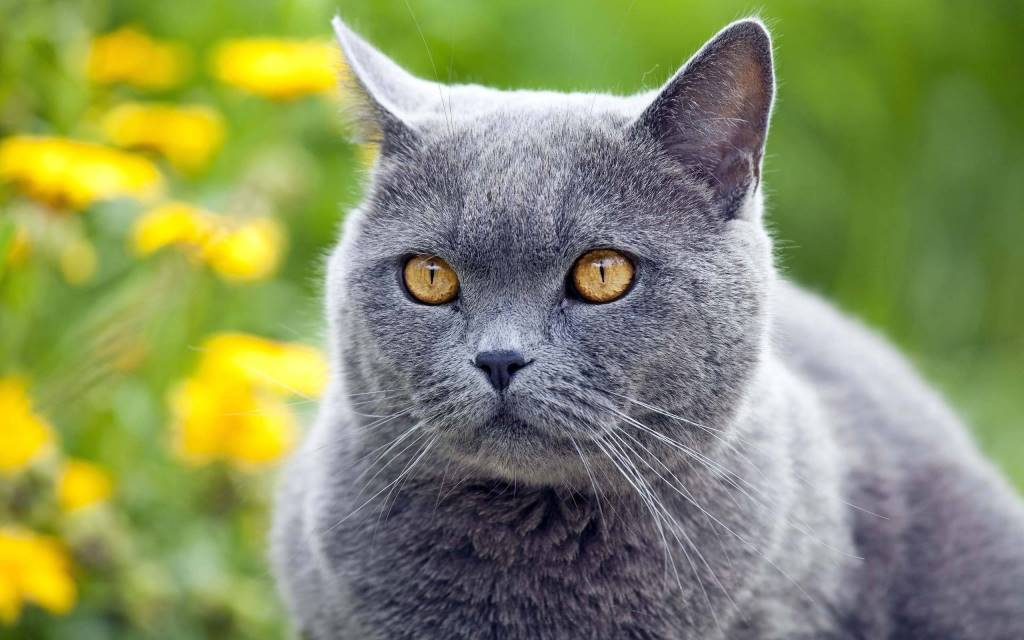Stunning cat With Amazing Eyes 4K Wallpaper