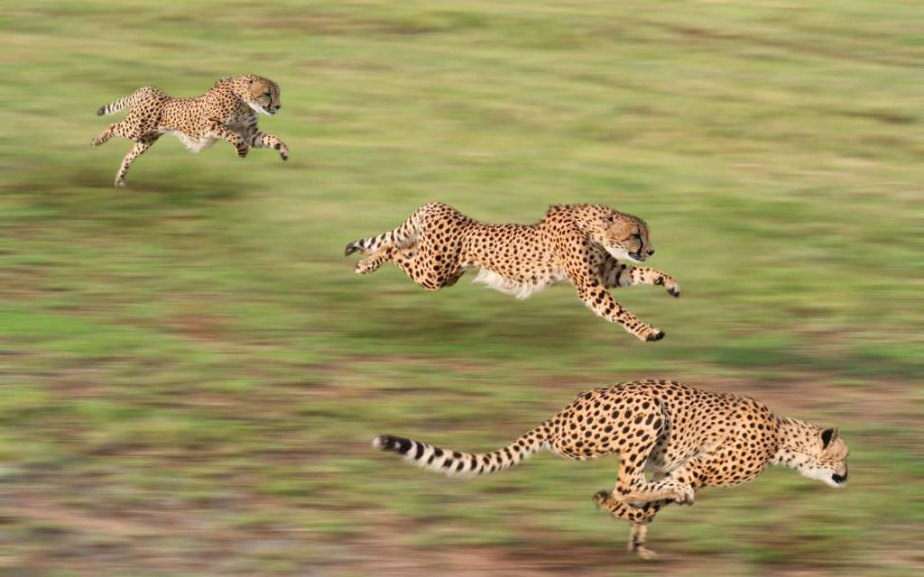 Top Speed Racing Leopards Full Hd Wallpaper