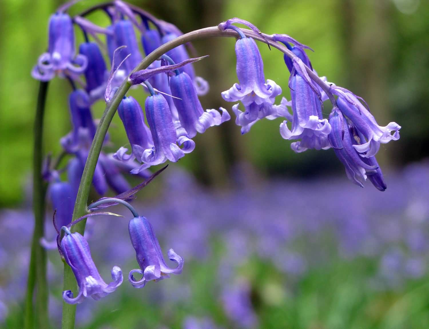 Unique Bluebell Flower Plant With Green Background
