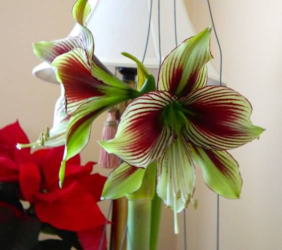Unique Green And Red Amaryllis Flower