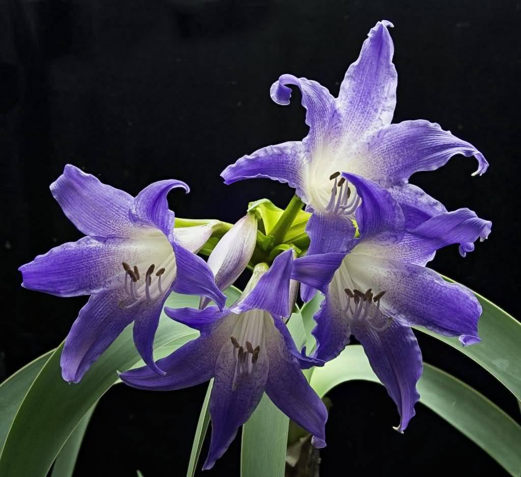 Unique Purple Amaryllis Flower Plants