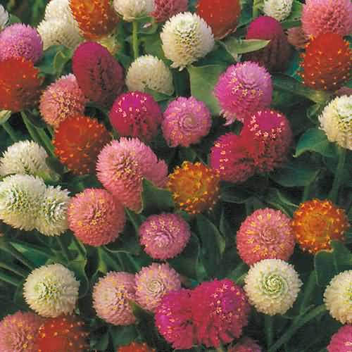 Very Beautiful Colorful Globe Amaranth Flowers With For Decoration