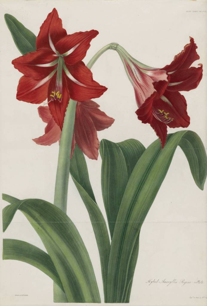 Very Beautiful Red Amaryllis Flower With Green Leafs