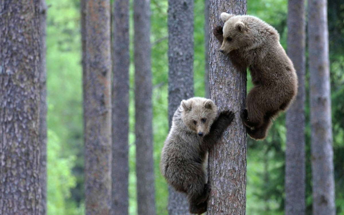 Very Funny Bears Climb Trees Hd Wallpaper