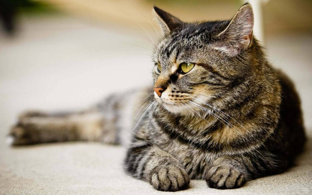 Very Nice Cat And Wonderful Looks full HD wallpaper