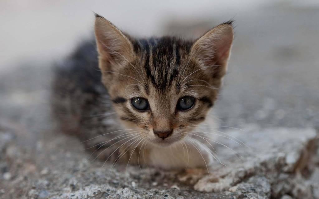 Very Nice Kitten Looks Into The Camera HD 4K Wallpaper