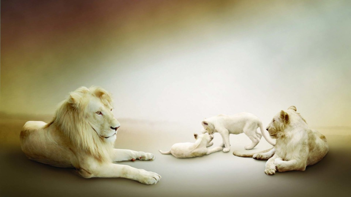 White Lion And His Family In Hd Wallpaper