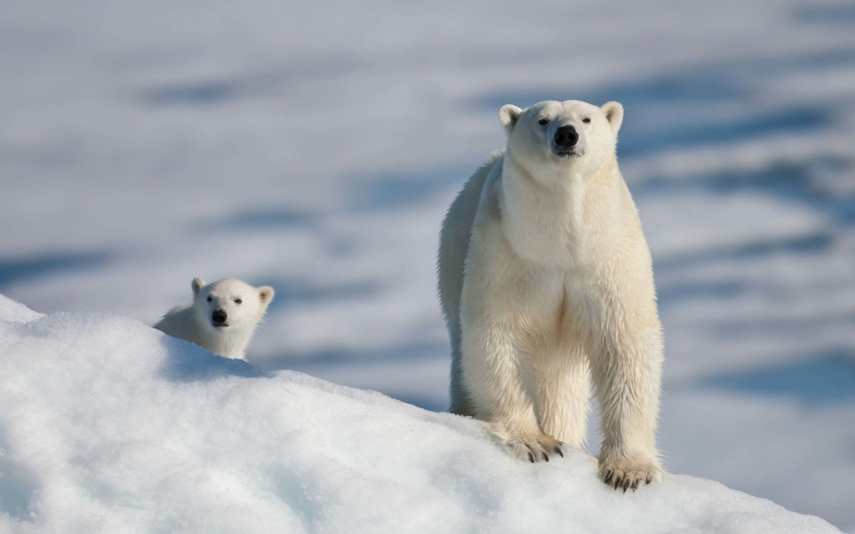 White Polar Bear With Her Son 4k Wallpaper
