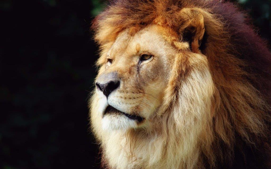 Wonderful Big Face Of The Lion Full Hd Wallpaper