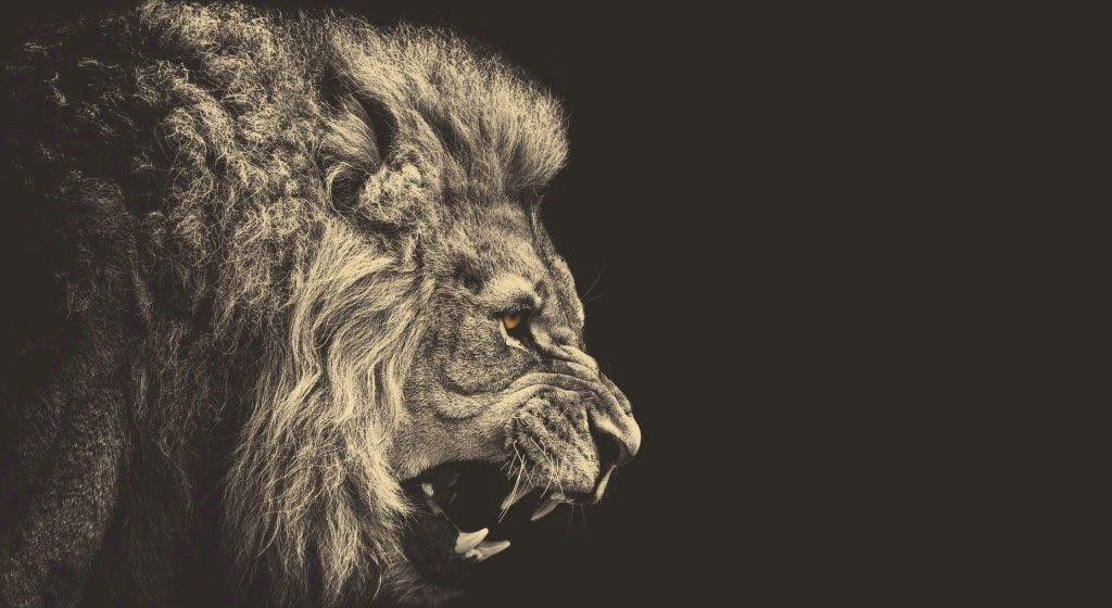 Wonderful Fierce Lion Full Hd Wallpaper