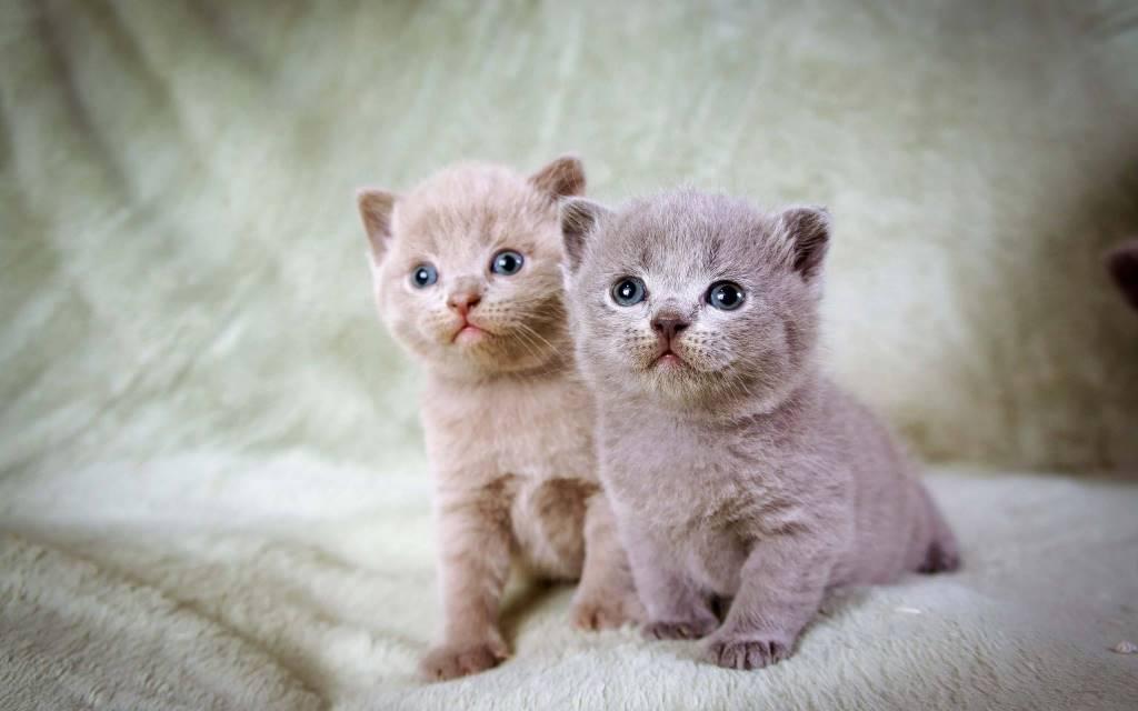 Wonderful Kittens With Blue Eyes Full Hd Wallpaper