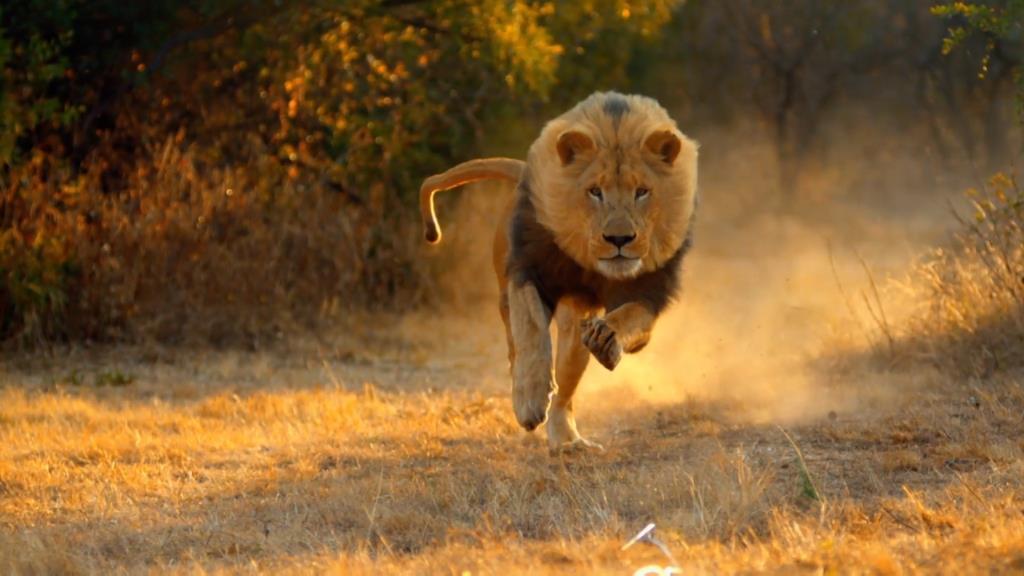 Wonderful Tiger Caught While Running Full Hd Wallpaper