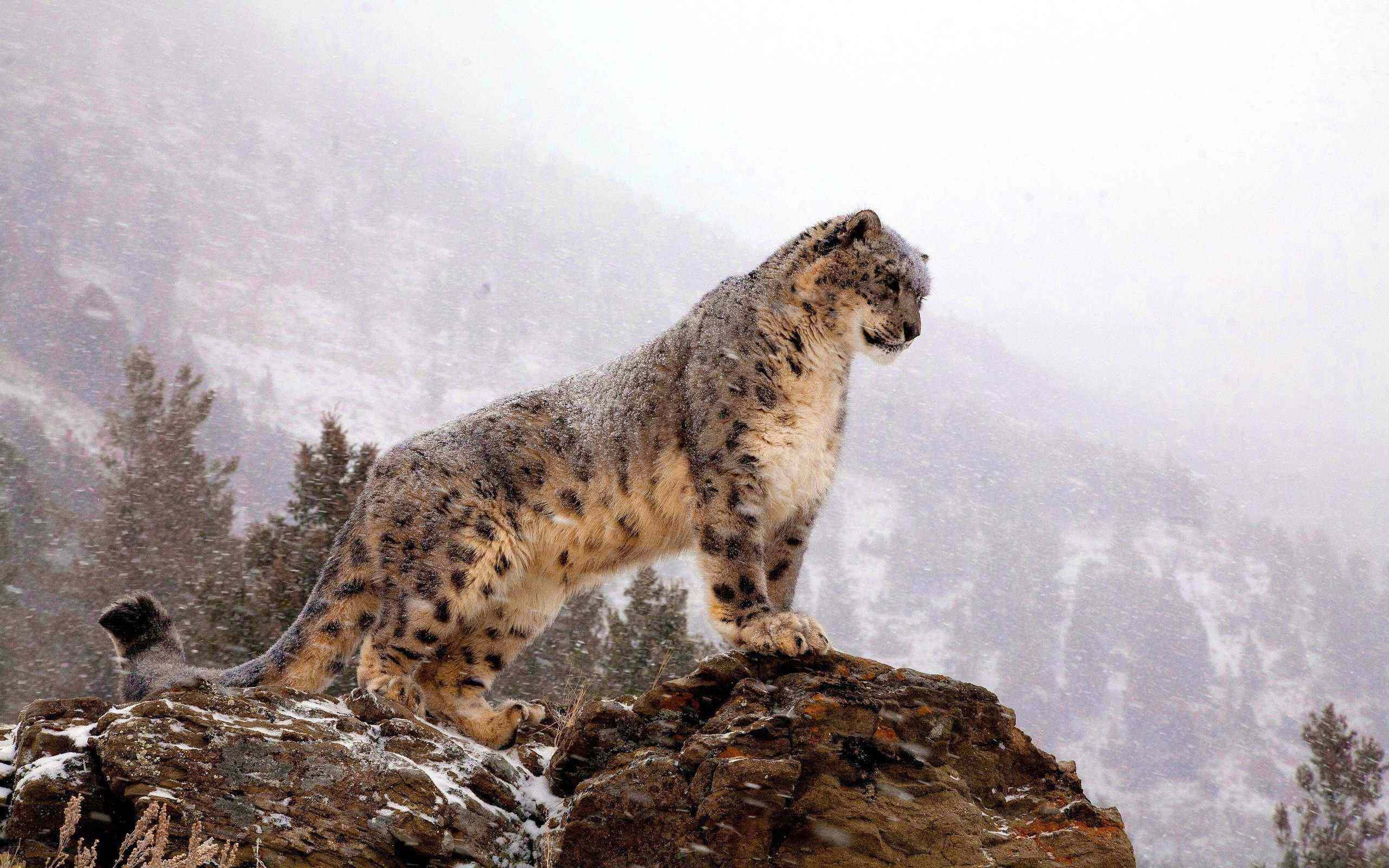 amazing-leopard-at-the-top-wallpaper
