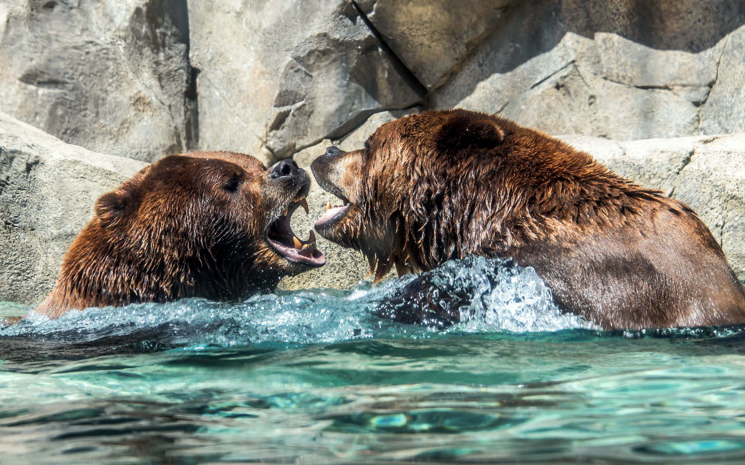 amazing-two-of-the-angry-grizzly-bears-full-hd-wallpaper