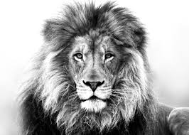 Amzing Picture Of A Tiger In Black White