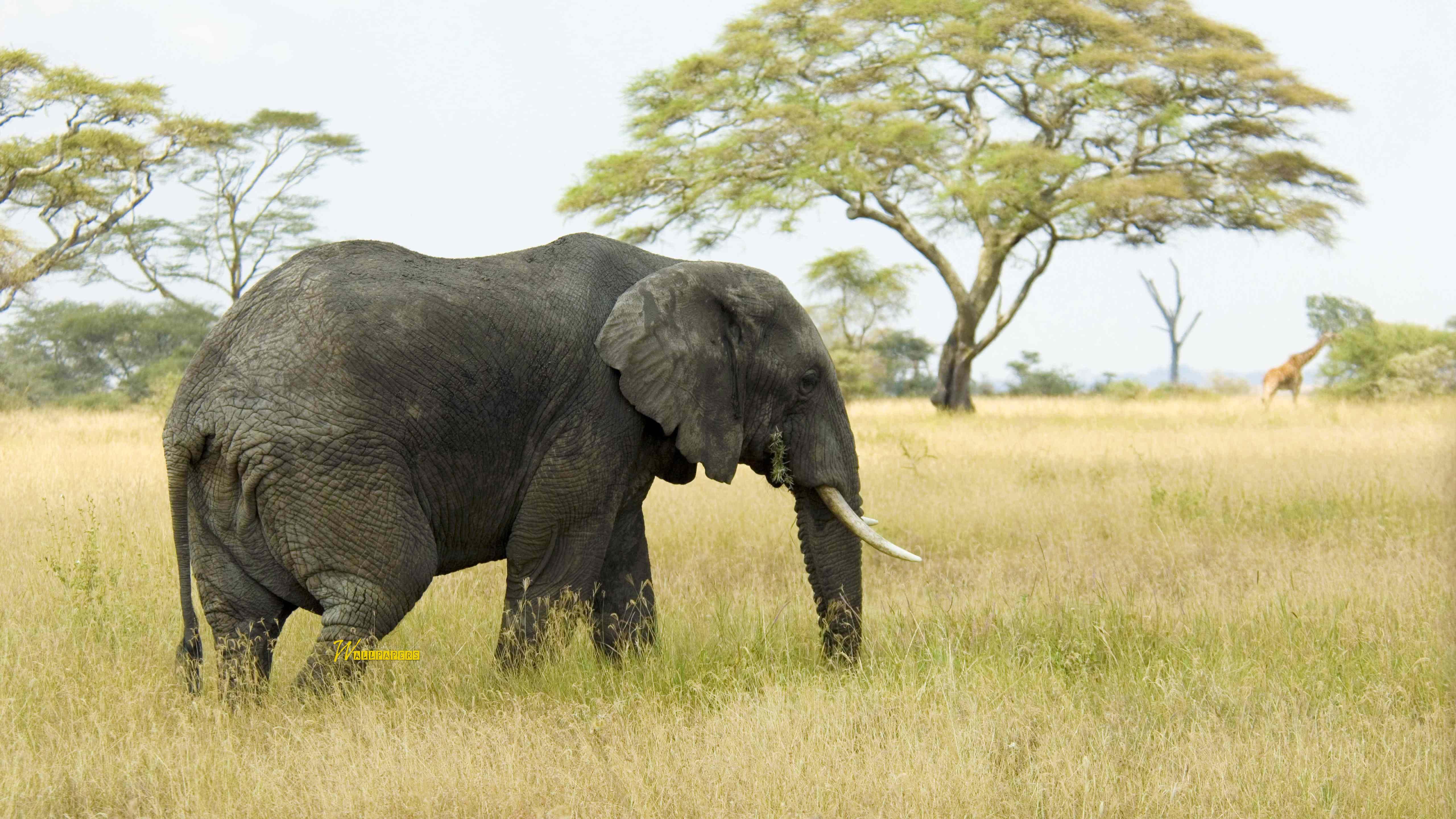 beautiful-elephant-and-giraffe-in-the-wild-full-hd-wallpaper