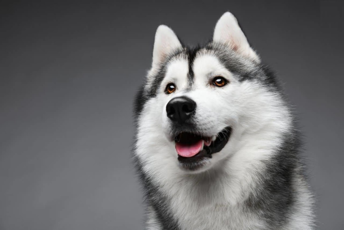 Images Of Husky Dogs: 49 Siberian Husky Dog Pictures, Images & Wallpapers