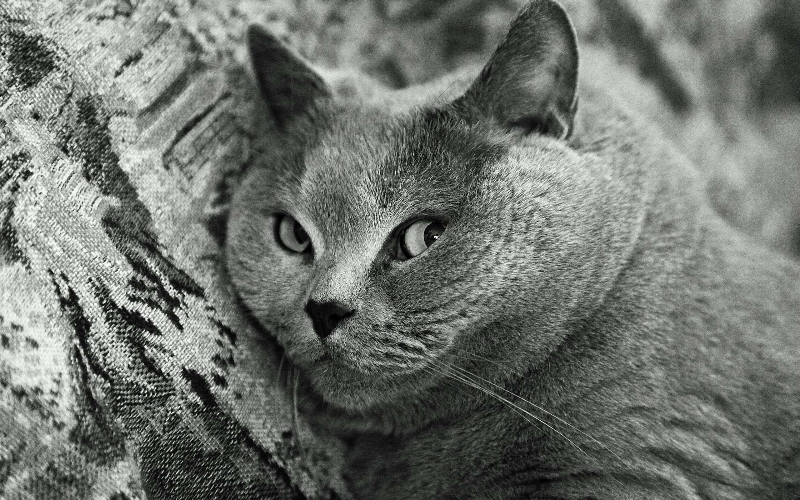 stunning-black-and-white-gray-cat-4k-wallpaper