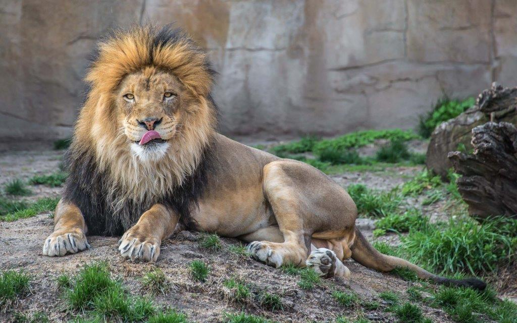 Stunning Lion In The Wild 4k Wallpaper