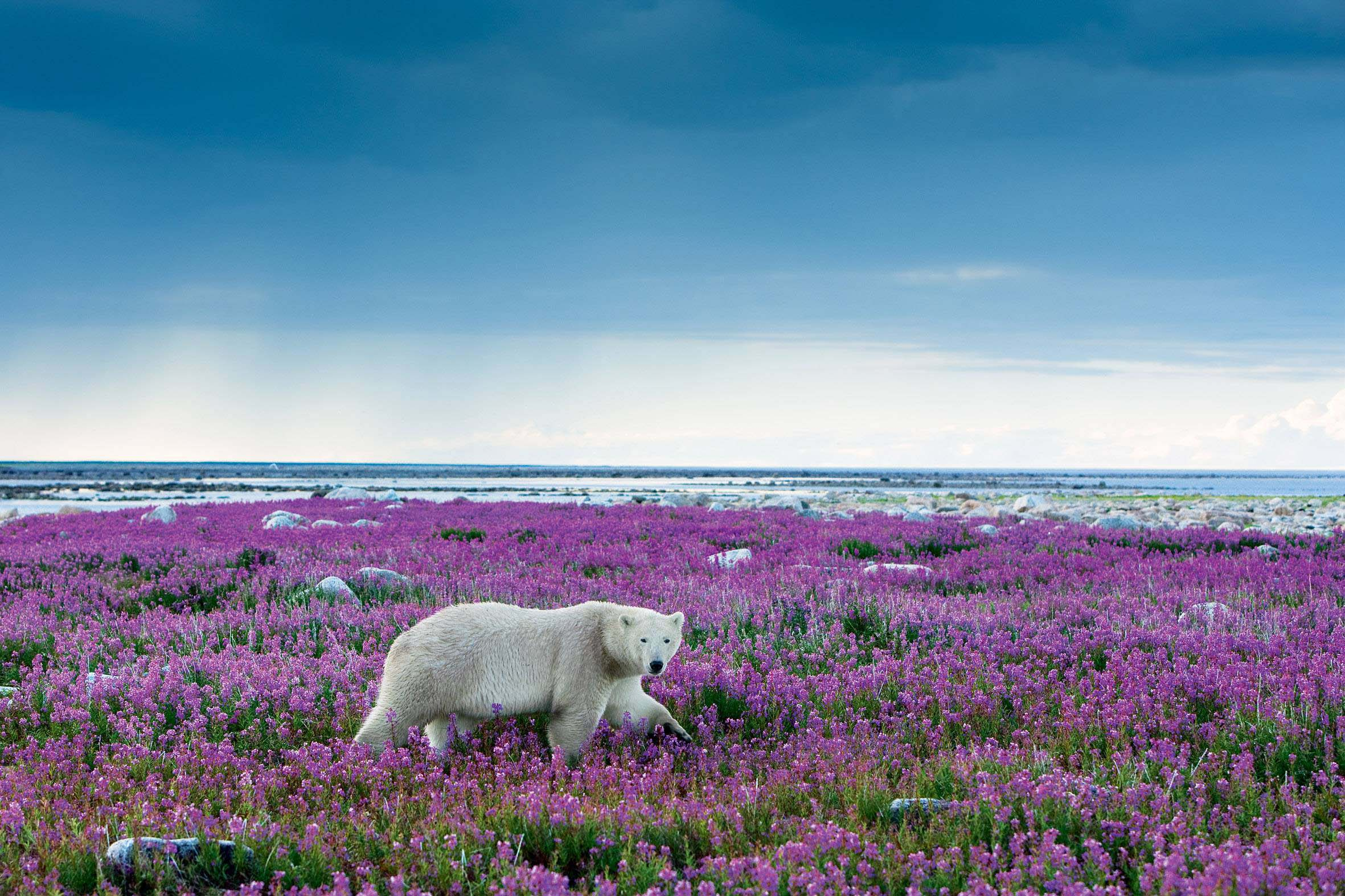 stunning-white-bears-among-the-many-flowersfull-hd-wallpaper