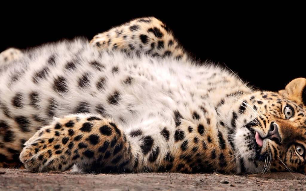 Very Funny Leopard 4k Wallpaper