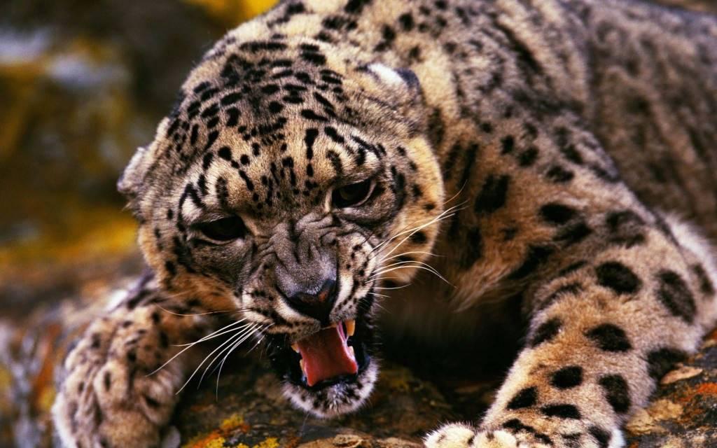 Very Scary Wonderful Leopard 4k Wallpaper