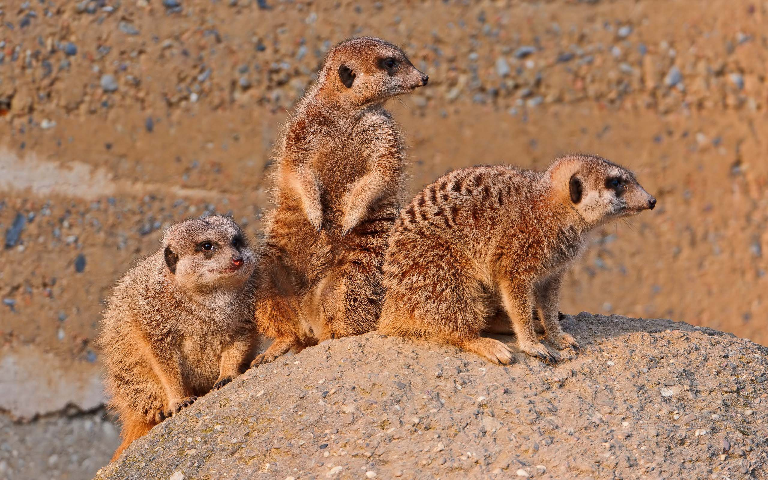 very-cute-three-mongoose-animals-4k-wallpaper