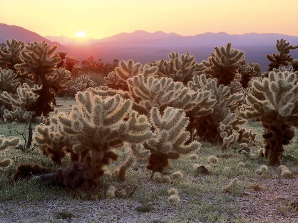 Awesome Cholla Cacti Joshua Tree National Park California 4K Wallpaper