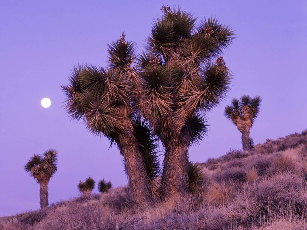Most Cutest Moonrise Over Joshua Trees Death Valley National Park California 4K Wallpaper