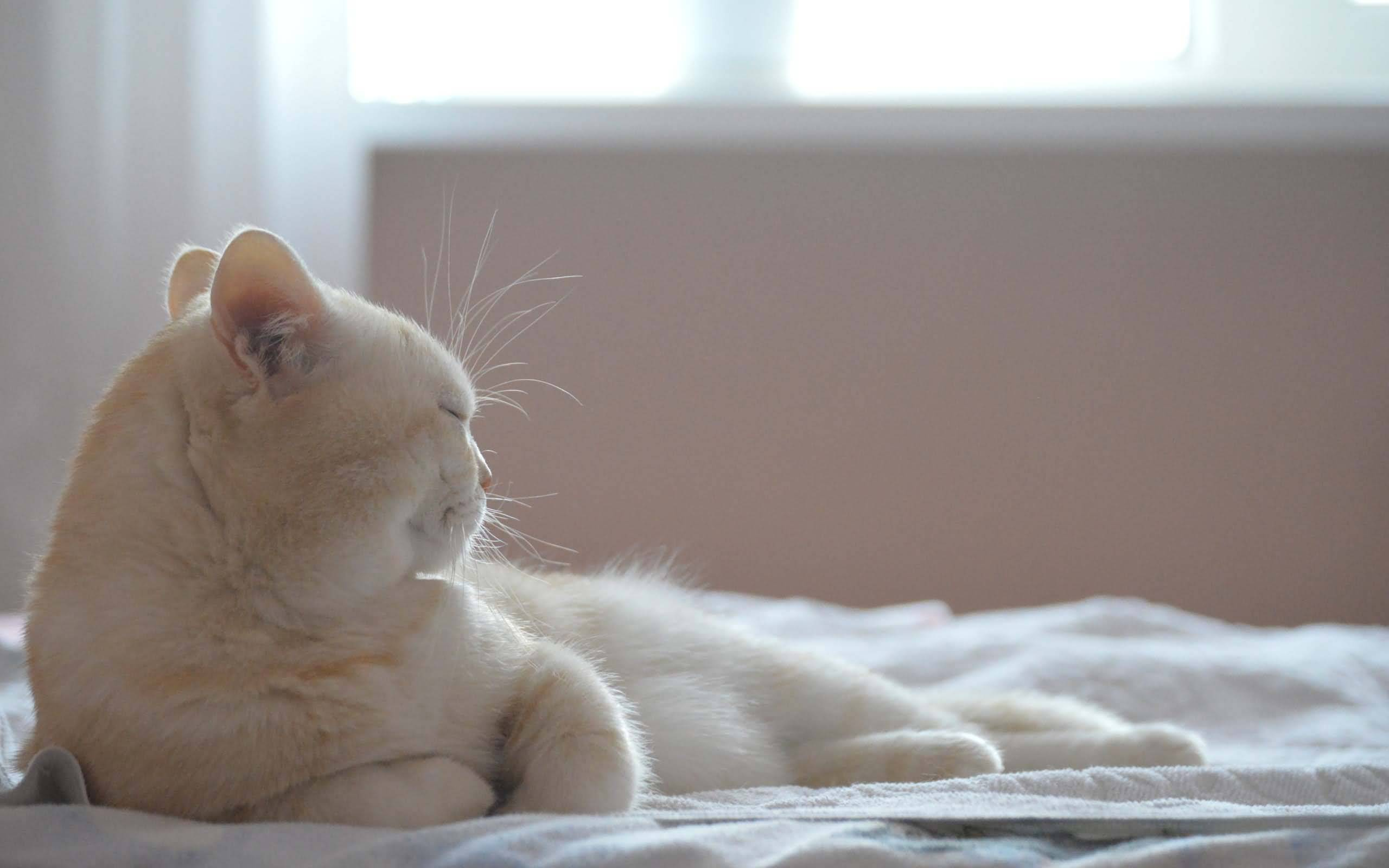 Most Fantastic White Cat On A Large White Bed Full HD Wallpaper
