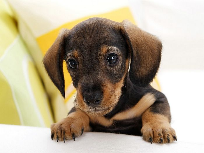 Adorable Dachshund Dog Baby For Wallpaper