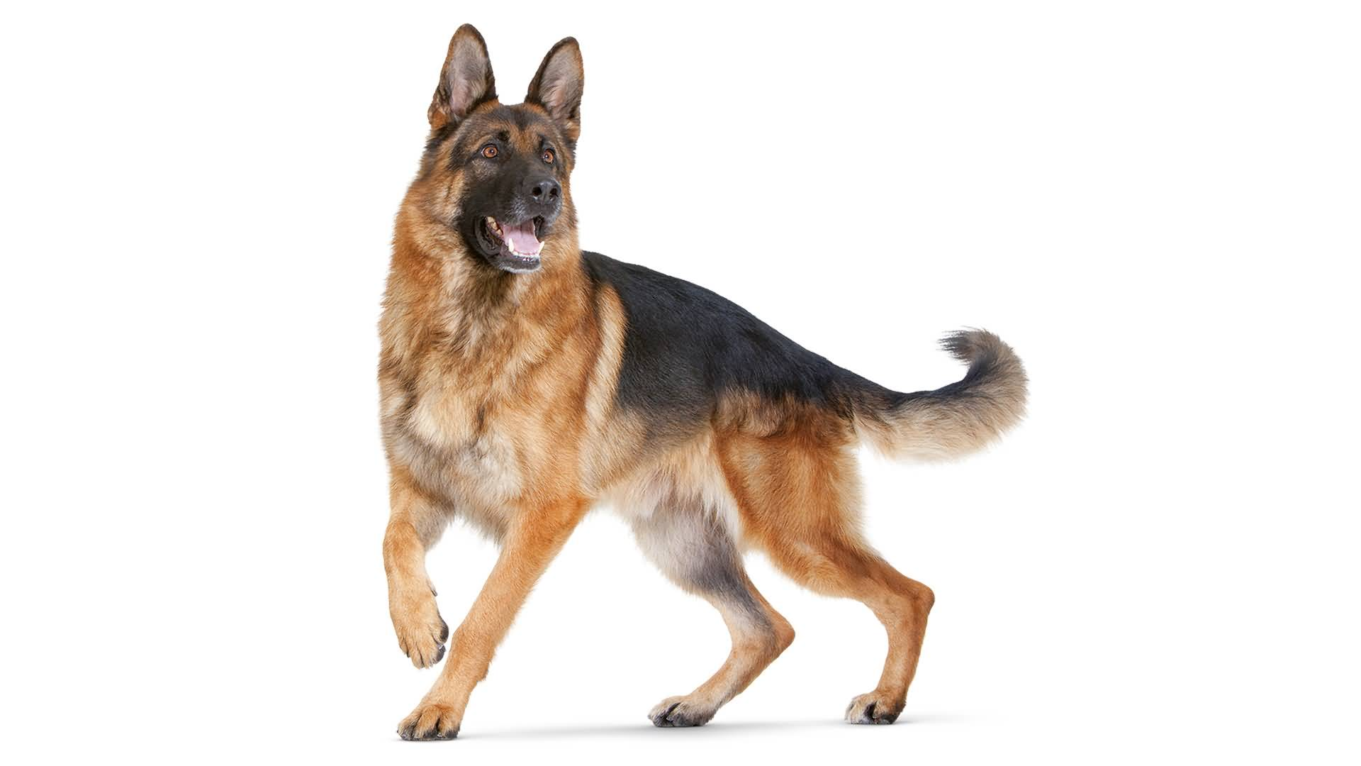 53 Awesome German Shepherd Dog Pictures & Wallpapers