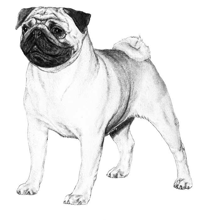 Adorable Pug Dog Sketch Design For Wallpaper
