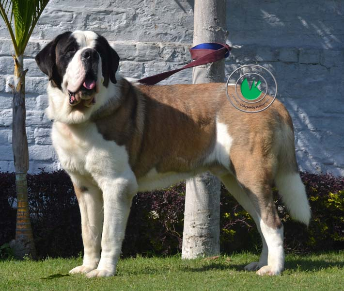 Adorable White And Brown English Mastiff Dog Picture For Wallpaper