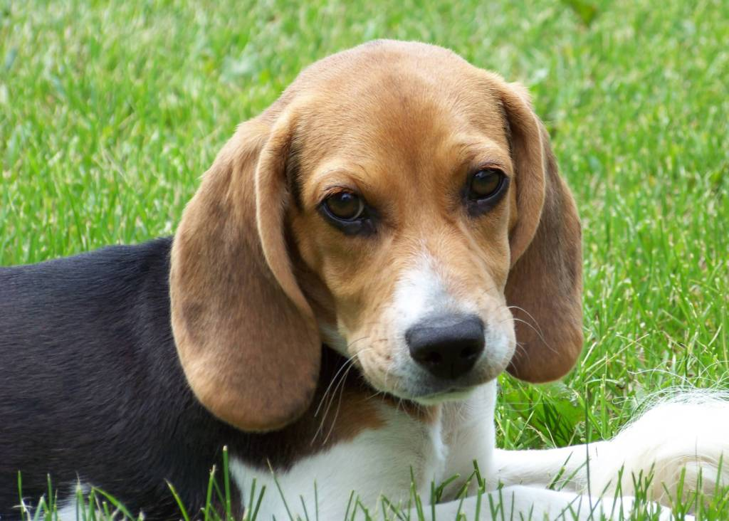 Amazing Face Of Beagle Dog Sitting In Park