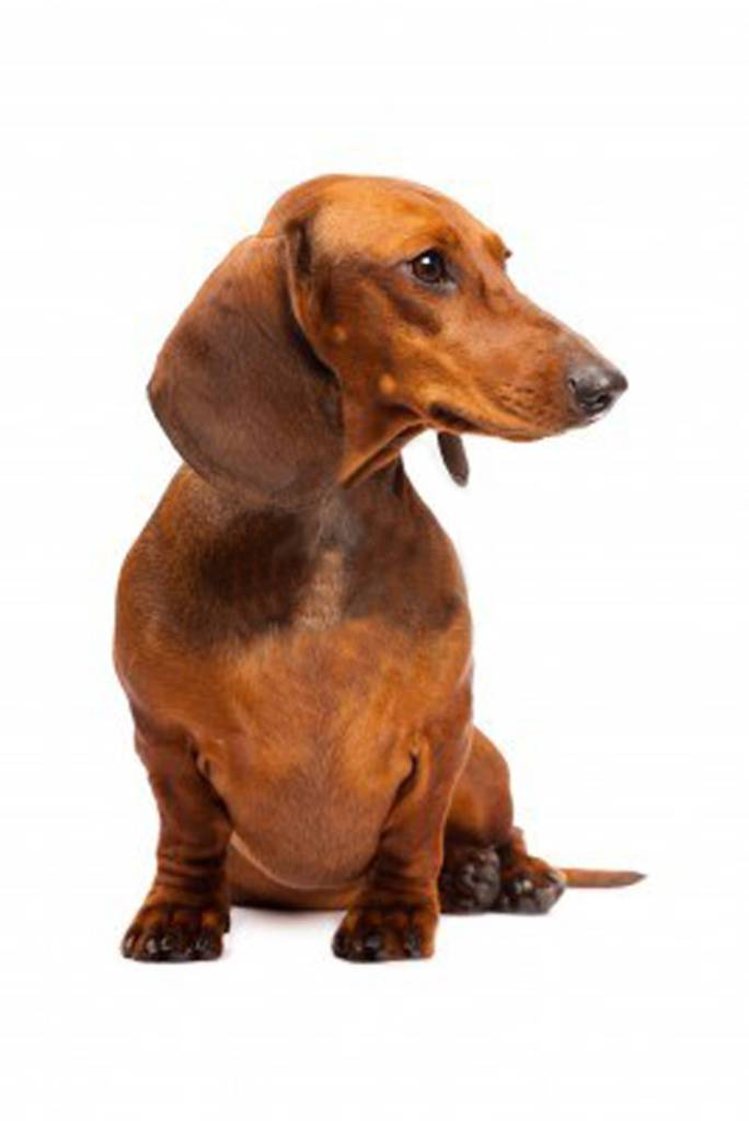 Awesome Brown Dachshund Dog For Wallpaper
