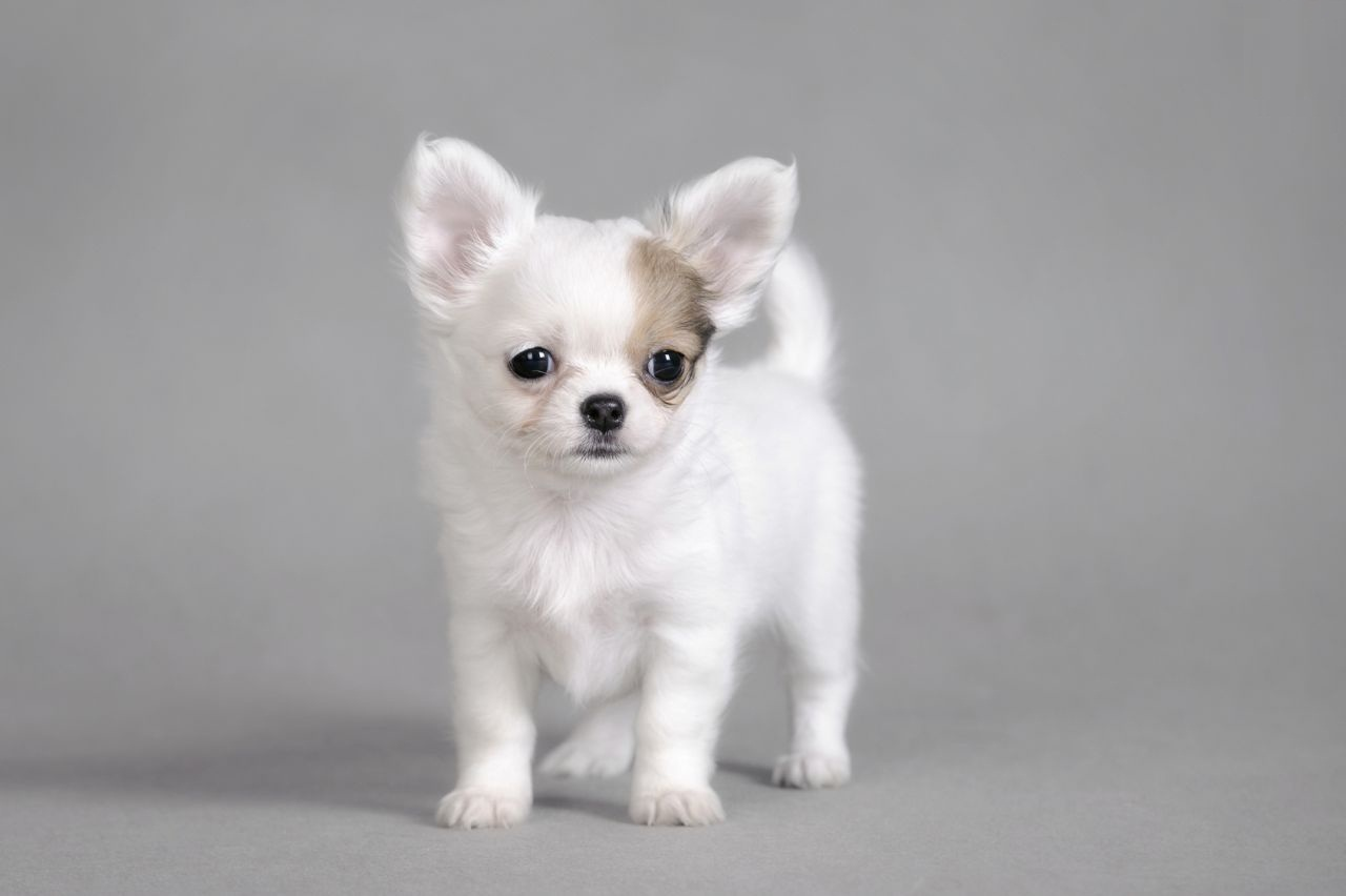 Awesome White Chihuahua Dog For Wallpaper